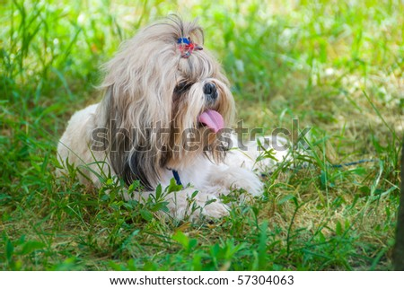 Dog breed Shih Tzu lying on a grass - stock photo