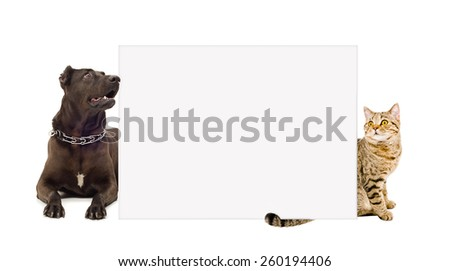Dog breed Staffordshire terrier and cat Scottish straight behind a banner isolated on white background - stock photo