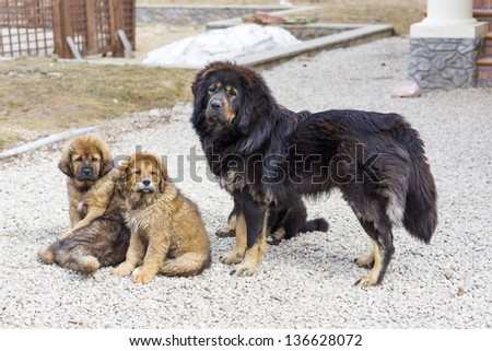 Dog breed Tibetan Mastiff with her puppies - stock photo