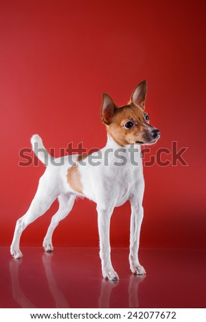 Dog breed Toy fox terrier puppy, Studio portrait puppy  on a red background