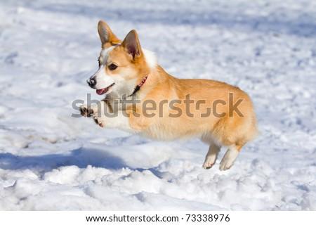 Dog breed Welsh Corgi Pembroke runs through snow - stock photo