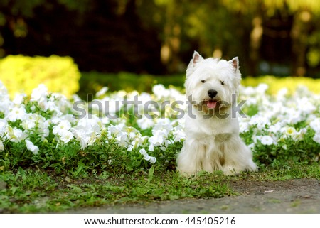 dog breed West highland white Terrier sitting in the summer on the flower beds - stock photo