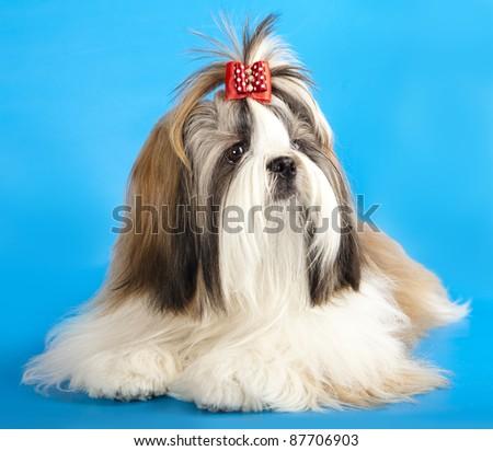 dog breeds shih tzu - stock photo