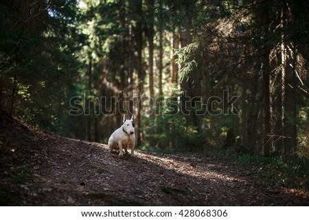 Dog Bull Terrier walking in the park , summer - stock photo