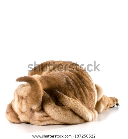 dog bum - chinese shar-pei puppy from the backside isolated on white - 4 months old - stock photo
