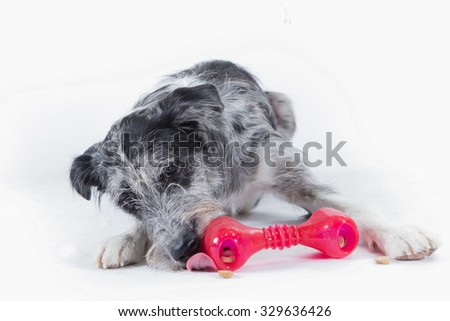 dog chewing on a red bone - stock photo