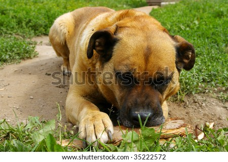 dog chewing piece of wood - stock photo