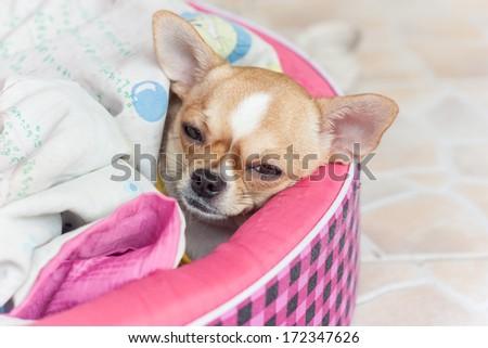 dog Chihuahua sleeping blanket - stock photo