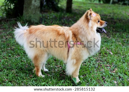 Dog chow chow in the garden - stock photo