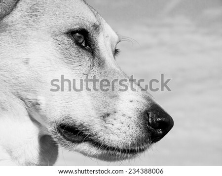 dog, close-up black and white - stock photo