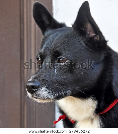 dog crying. Sad dog is sitting on the porch with tears in his eyes and waiting for his owner. - stock photo