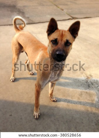 Dog.Cute funny puppy Thai. Brown dog. Dog Thai is a faithful friend. Watchdog. Basenji dog.