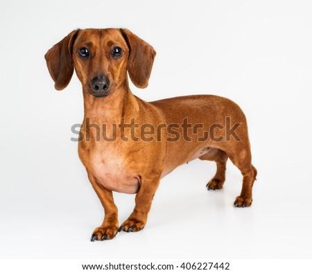 dog, Dachshund, breed, on a white background, isolated - stock photo