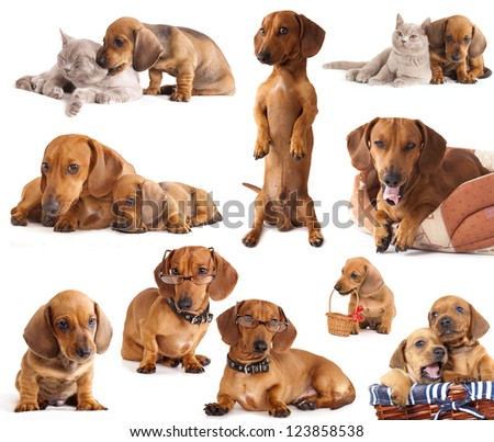 dog dachshund  in different poses