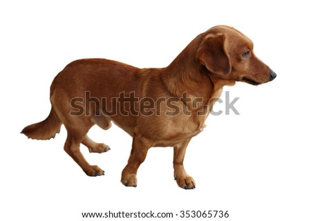 dog dachshund on a white background
