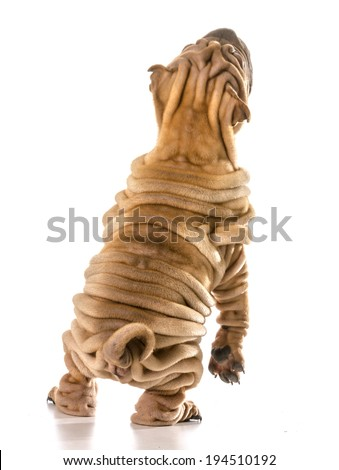 dog dancing - chines shar pei standing on back legs dancing isolated on white background - stock photo