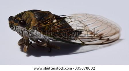 Dog-day cicada Tibicen canicularis - stock photo