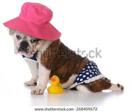 dog days of summer - bulldog puppy wearing a bikini on white background - stock photo