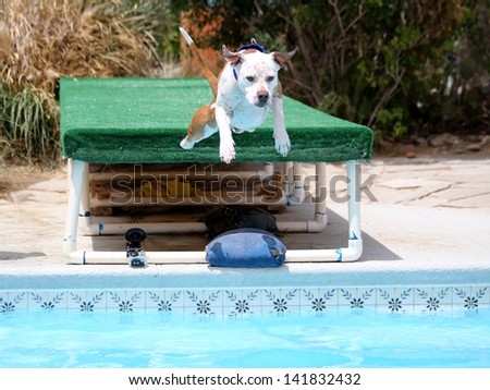 Dog diving off a dock into the pool