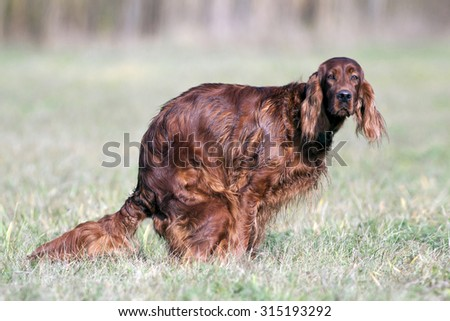 Dog doing his ablutions in the park - stock photo