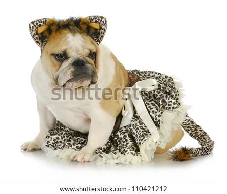 dog dressed like a cat - english bulldog wearing cat costume on white background - stock photo