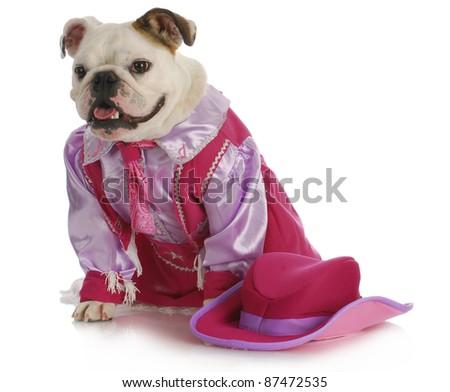 dog dressed up like a cowgirl - english bulldog wearing western costume sitting on white background - stock photo