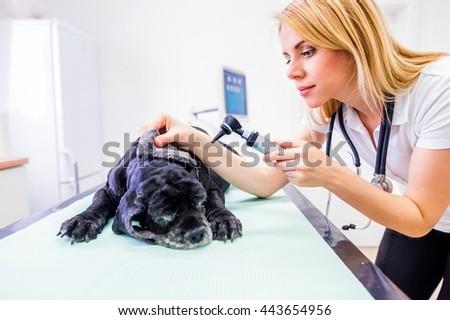 Dog during having otoscope examination at veterinary clinic. - stock photo