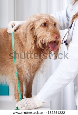 Dog during measuring its height on the table - stock photo