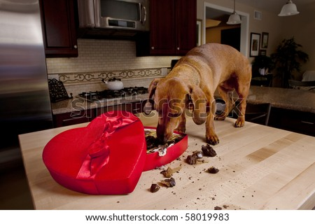 Dog eating chocolates from heart shaped box - stock photo