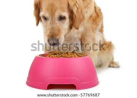 dog eating on white background - stock photo