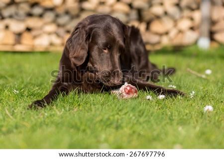 Dog eats a piece of a calf sternum - stock photo