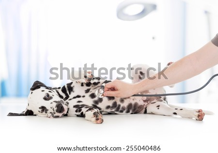 dog examination by veterinary doctor with stethoscope in clinic - stock photo