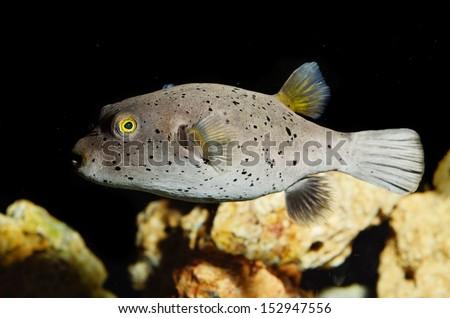 Dog-face Puffer fish  - stock photo