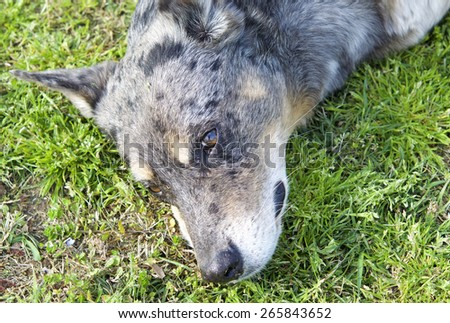 Dog-faced half-breed in the meadow  - stock photo