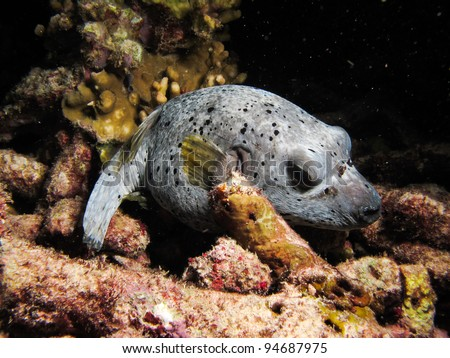 Dog-faced puffer fish sleeping on dead coral - stock photo