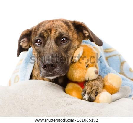 Dog falls asleep in the arms of a stuffed toy. isolated on white background - stock photo