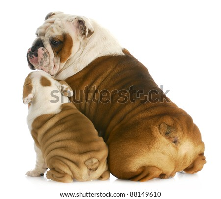 dog family - english bulldog father and son sitting with reflection on white background - stock photo