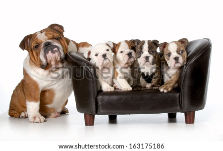 dog family - english bulldog father sitting beside litter of four puppies sitting on couch isolated on white background - stock photo