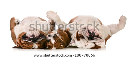 dog family - father, son and grandfather laying on back - stock photo