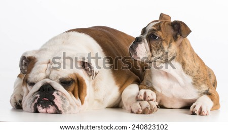 dog father and daughter - english bulldog father 5 years old and daughter 4 months old on white background - stock photo