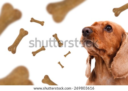 Dog food treats falling, dropping down, cocker looking, isolated on white background.
