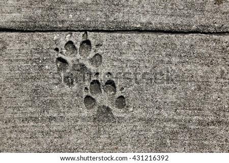dog footprints printed in sidewalk concrete cement - stock photo