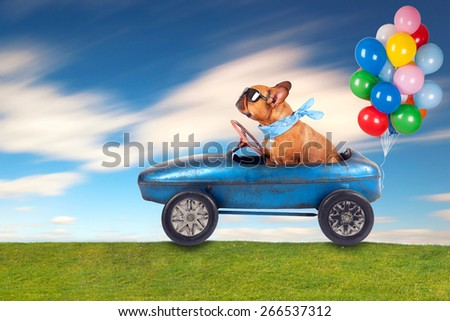 dog (French bulldog) driving a toy car with balloons , dog enjoys a a ride in his blue old car - stock photo