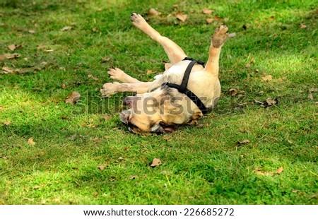 Dog French Bulldog on the grass - stock photo