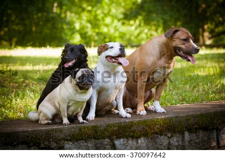 Dog friends - staffordshire bullterier, staffbulterier, pug and crossbreed sitting outside - stock photo
