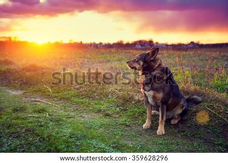 Dog gazing sunset in countryside - stock photo