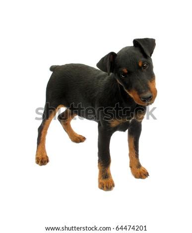 Dog German Hunt Terrier Jagdterrier - stock photo