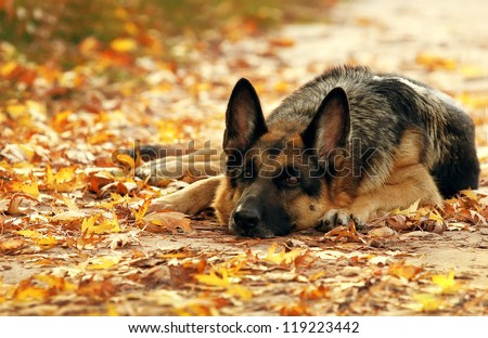 Dog, German shepherd lies in the autumn wood against beautiful yellow foliage