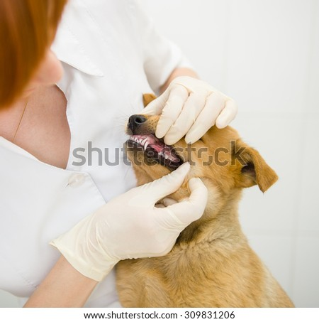 dog getting teeth examined by veterinarian - stock photo