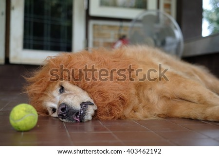 Dog Golden Lion wig play ball